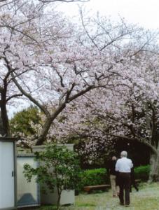 8_sakura